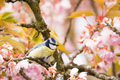Blue tit in a flowering cherry tree - PhotoDune Item for Sale