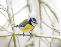 Blue tit bird sitting on a snow covered tree - PhotoDune Item for Sale