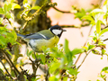 Great Tit bird sitting on a tree branch - PhotoDune Item for Sale
