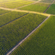 Beautiful vineyard field from top. - PhotoDune Item for Sale