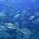 Tropical Fish Swims From the Blue Depths - VideoHive Item for Sale