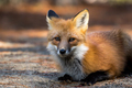 Red Fox - Vulpes vulpes, laying down in the sand and pine needles.