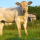 Calves and Their Mothers - VideoHive Item for Sale