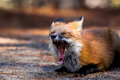 Red Fox - Vulpes vulpes, yawning and showing teeth