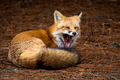 Red Fox - Vulpes vulpes, yawning while laying down in the pine needles.