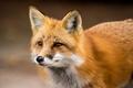 Red Fox - Vulpes vulpes, close-up portrait.
