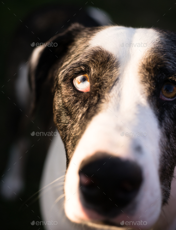 Unique Colored Eye Looking up Loving Dog