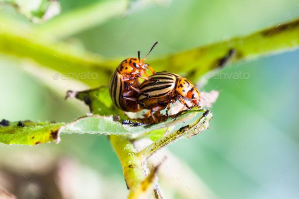 pair of colorado potato bugs on potato bush - Stock Photo - Images