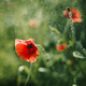 Red Poppy on Green background with bokeh - PhotoDune Item for Sale