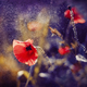Red Poppy on Violet tone background with bokeh - PhotoDune Item for Sale