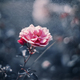 Pink Rose on Dark Blue tone background with bokeh - PhotoDune Item for Sale
