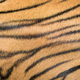 background textured of bengal tiger fur - PhotoDune Item for Sale