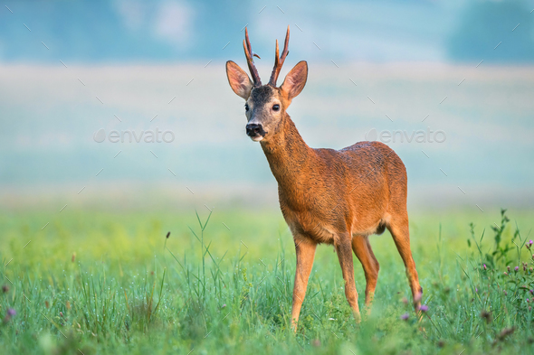 Wild roe deer in a field - Stock Photo - Images
