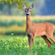 Female roe deer in a field - PhotoDune Item for Sale