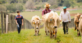 Grandfather Father Child Pasturing Cows In Family Ranch - PhotoDune Item for Sale