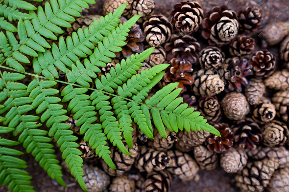 Beautiful pine cones and fern are laid out on the ground. - Stock Photo - Images