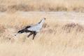 Secretary Bird, Sagittarius serpentarius walking in grass - PhotoDune Item for Sale