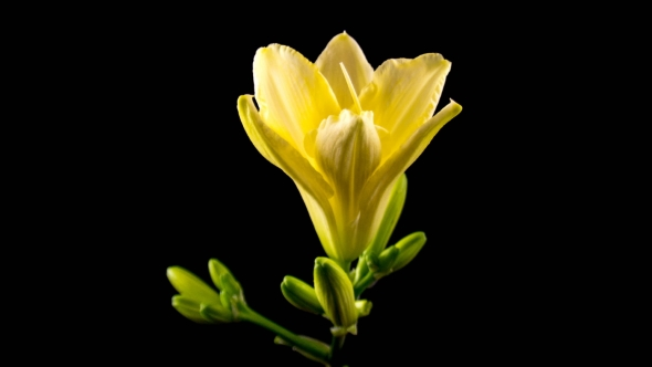 VideoHive Yellow Daylily Flower Blooming and Fading on Black Background 20458103