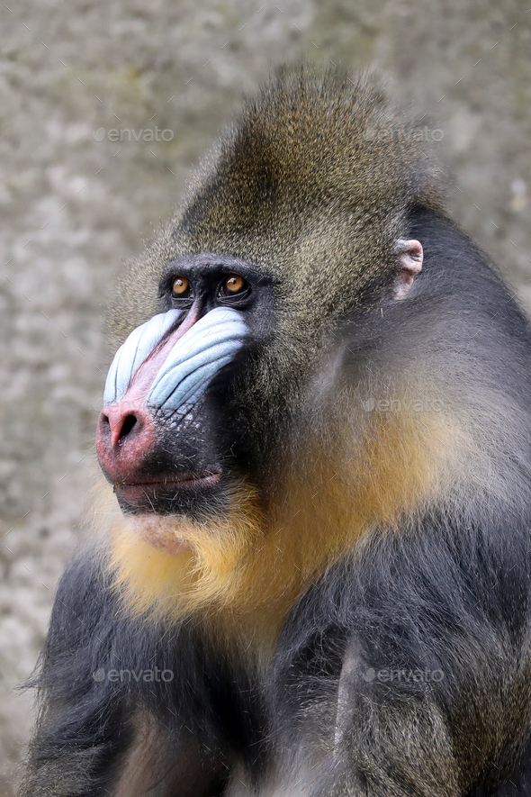 Male Mandrill - Stock Photo - Images