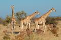 Giraffes in natural habitat - PhotoDune Item for Sale