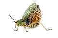 Milkweed locust on white - PhotoDune Item for Sale