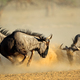 Blue wildebeest fighting - PhotoDune Item for Sale