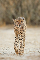 Alert Cheetah walking