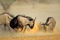 Blue wildebeest fighting - PhotoDune Item for Sale