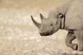 Black rhinoceros portrait - PhotoDune Item for Sale