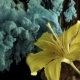 Yellow Lily Ink in Water - VideoHive Item for Sale