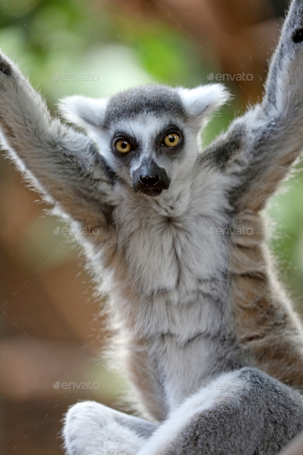 Ring tailed lemur - Stock Photo - Images