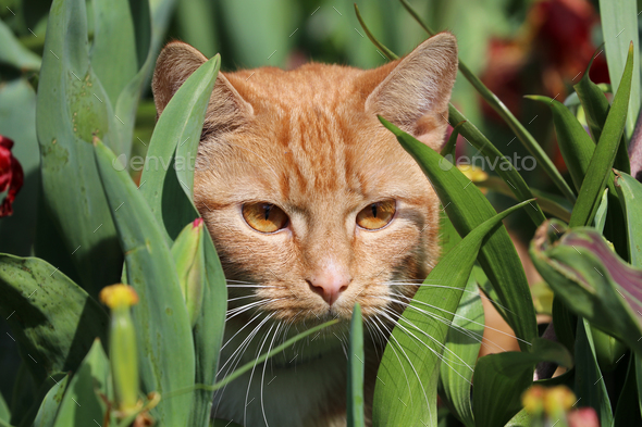 Red cat - Stock Photo - Images
