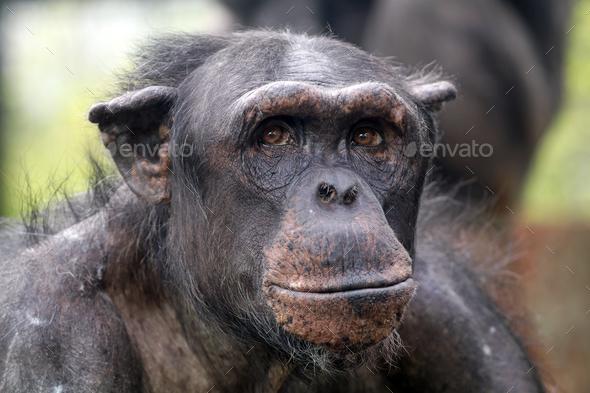 Chimpanzee - Stock Photo - Images