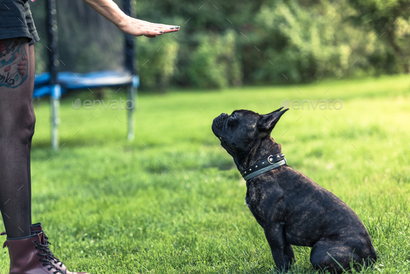 Young female teaching French Bulldog obiedence - Stock Photo - Images
