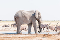 African elephant, black backed jackal and oryx at a waterhole - PhotoDune Item for Sale