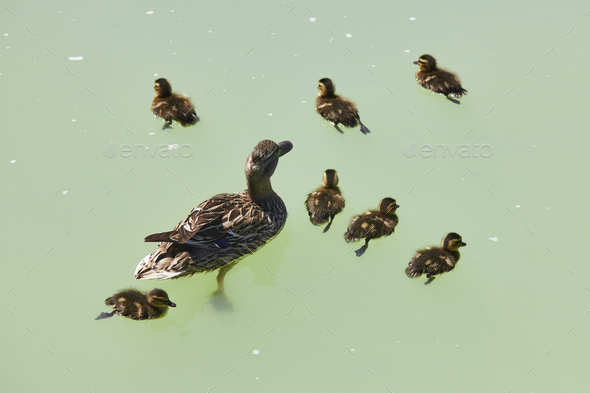 Female duck with family on a green pond. Nature background - Stock Photo - Images