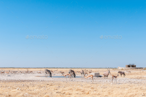 Oryx, Burchells zebras and springboks at a waterhole - Stock Photo - Images