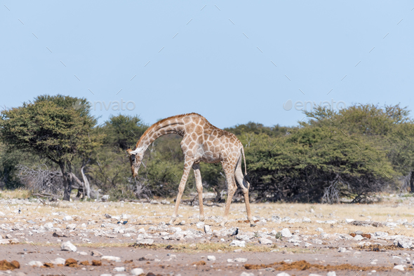 Namibian giraffe, Giraffa camelopardalis angolensis, walking with bowed head