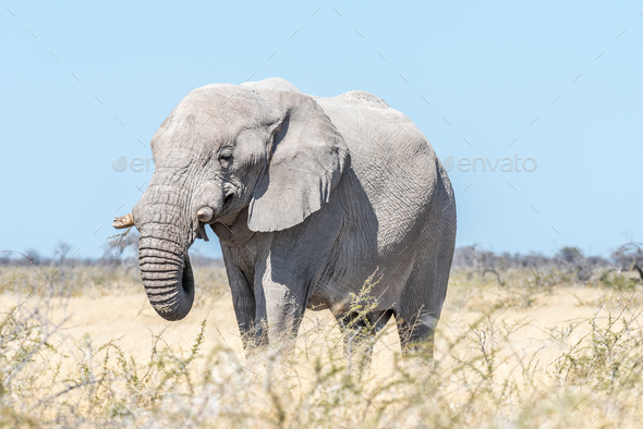 White African elephant, covered with white calcrete dust