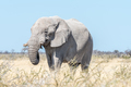 White African elephant, covered with white calcrete dust - PhotoDune Item for Sale