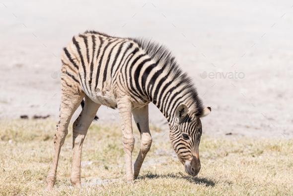 Burchells zebra foal, Equus quagga burchellii, grazing