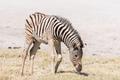 Burchells zebra foal, Equus quagga burchellii, grazing - PhotoDune Item for Sale
