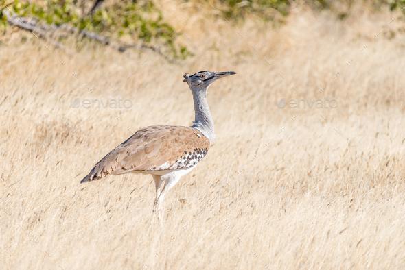 Kori Bustard, Ardeotis kori, in Northern Namibia