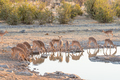 Herd of black-faced impala at waterhole in Northern Namibia