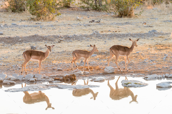 Three black-faced impala at waterhole in Northern Namibia - Stock Photo - Images
