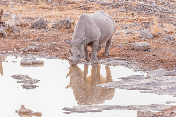 Black rhinoceros drinking water at a waterhole after sunset