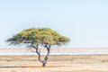 Lonely tree landscape with the Etosha Pan in the back - PhotoDune Item for Sale