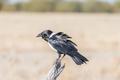 Pied crow, Corvus albus, on a dead tree branch
