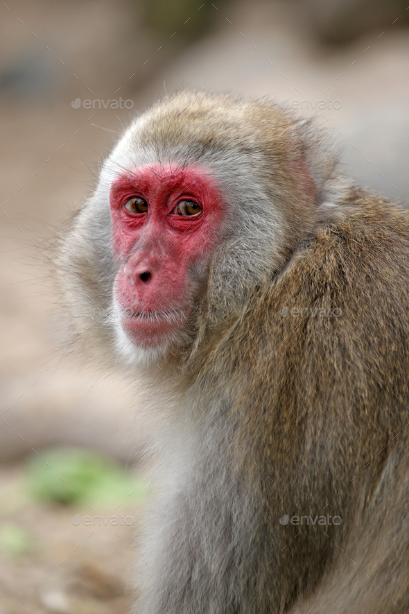 Japanese Macaque - Stock Photo - Images
