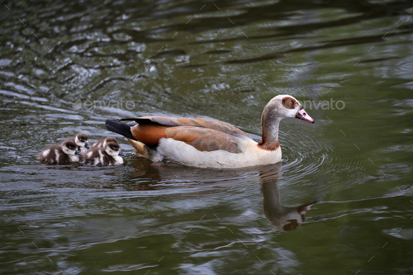 Egyptian Goose - Stock Photo - Images